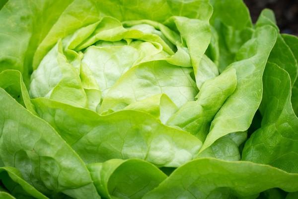Kopfsalat 1Stk